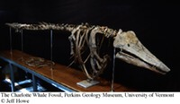 Vermont - Fossil - Charlotte Whale Skeleton