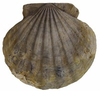 Virginia - Fossil - Chesapecten jeffersonius
